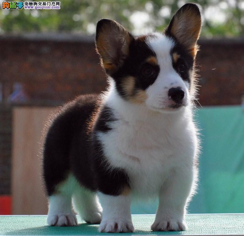 出售家养的柯基犬,三个月纯种包健康图片