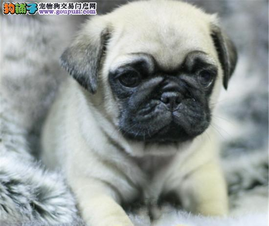 北京最大巴哥犬基地 完美售后 可送货上门