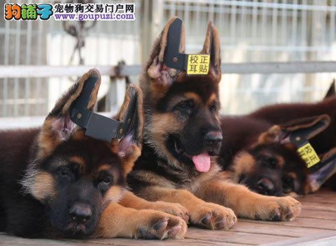 北京最大的狼狗基地 完美售后 质量三包 可送货上门