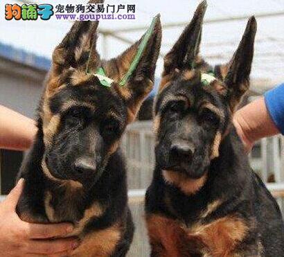 青岛基地出售锤系赛系德国牧羊犬 同城可免费送货图片