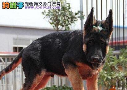 上海繁育德国牧羊犬直销看家看工地警犬德牧健康骨架大