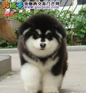 广州正规犬业出售纯血系的阿拉斯加幼崽 多种血系供您选购