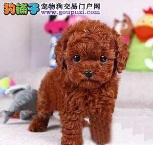 特价出售韩系纯种南昌贵宾犬 国外引进品种价格优惠