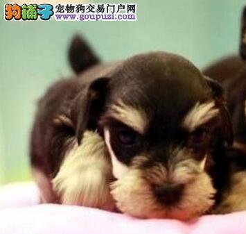 特价出售可爱小体郑州雪纳瑞 颜色齐全多只可选择