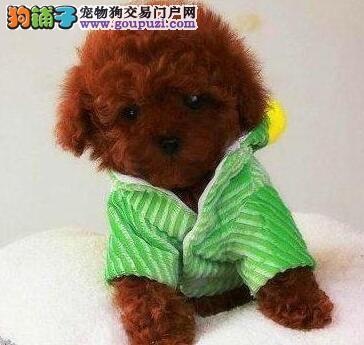 京义犬业出售泰国清迈/双冠卡哇伊泰迪出售质保三年