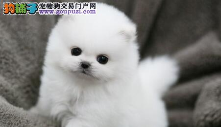 青岛养殖基地特价优惠出售颜色齐全的博美犬 假一罚百