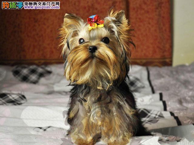 诚信交易、纯种约克夏、健康终身保障、签协议送狗用品
