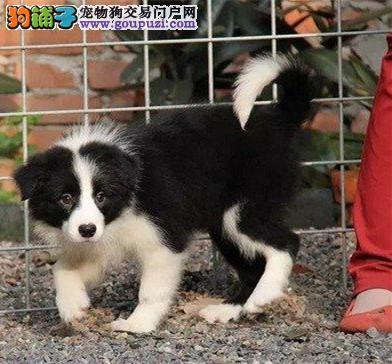 边境牧羊犬 边牧幼犬保证纯种健康 、终身质保饲养指导