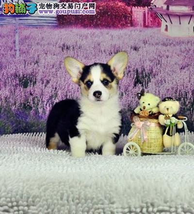 上海买纯种赛级柯基狗狗保纯保健康柯基犬可签订协议