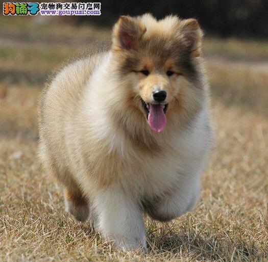 石家庄出售自家繁殖赛级纯种苏格兰牧羊 苏牧幼犬