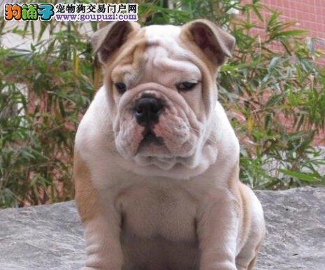南京买精品英国斗牛犬健康包活多种颜色可选小英牛