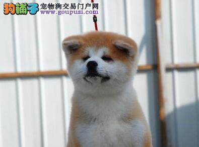 日系血统的秋田犬低价出售 青岛的朋友可上门看狗图片