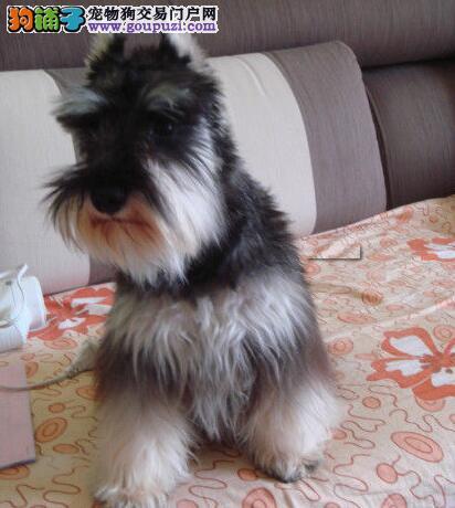 顶级优秀深圳犬业直销出售纯种雪纳瑞 身体健康有保证