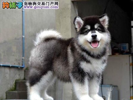 转让双十字长沙阿拉斯加雪橇犬 可当面看狗假一罚百