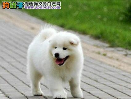 常年出售萨摩幼犬,骨量、毛量、品相全到位