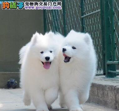 昆明基地出售血统纯正萨摩耶公母都有可上门看狗
