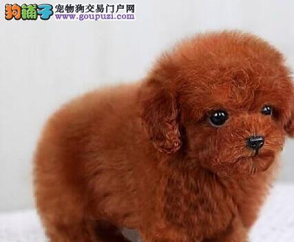 优惠价转让韩系血统西安泰迪犬 可签署售后保障协议