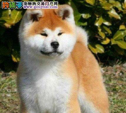 精品纯种北京秋田犬出售质量三包微信咨询看狗狗视频图片