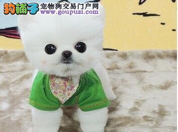 袖珍超小体济南博美犬找新主人 均保证健康、存活