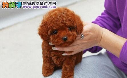 家养韩国血统泰迪熊 红色咖啡色上门挑选 保纯种健康图片
