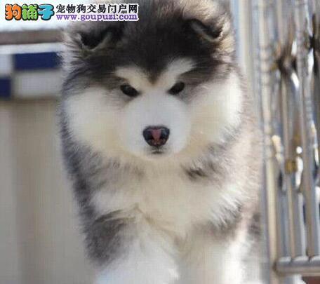 转让完美品相的昆明阿拉斯加犬 包品质包健康包售后