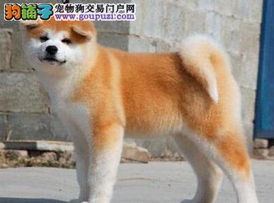 出售纯种日系广州秋田犬 驱虫疫苗已做好保证健康