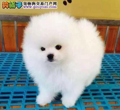 昆明犬舍直销纯种博美幼犬 信誉售后服务 保障品质
