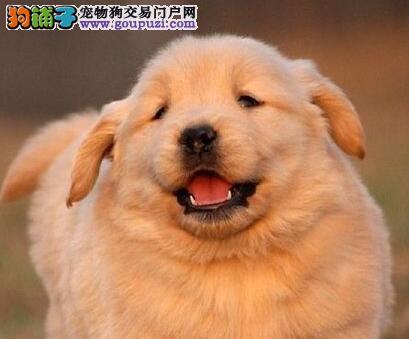 出售金黄色的贵阳金毛犬 喜欢的朋友可随时上门选购
