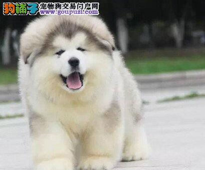 阿拉斯加雪橇犬品相极佳聪明听话保证健康