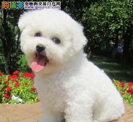 极品卷毛比熊犬长沙犬舍热销中 所有犬只均保证健康