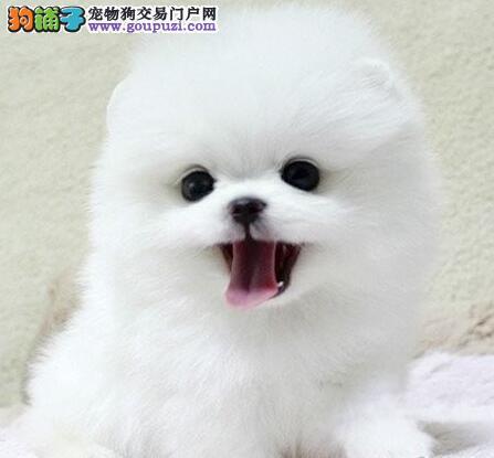 杭州繁殖基地特价直销纯种博美幼犬 爱狗人士优先选购图片