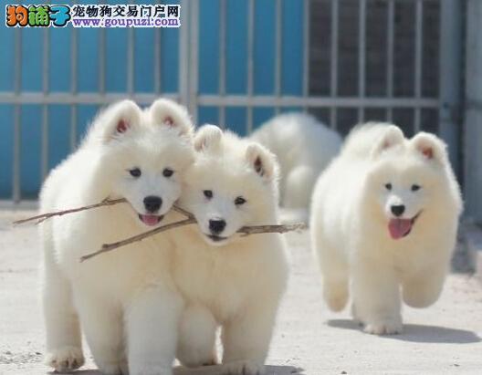 长沙售纯种萨摩 萨摩耶犬微笑天使公狗幼犬