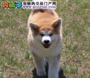 犬舍出售赛级品质秋田犬 纯正日系血统南宁地区最低价