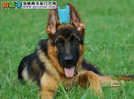 郑州出售锤系德牧 无可挑剔 力与美雄性风采德国牧羊犬
