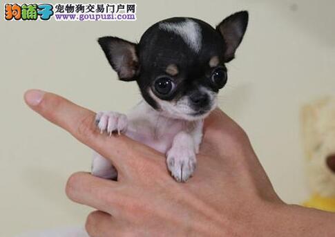 武汉家养纯种大眼睛漂亮可爱吉娃娃宝宝出售疫苗已打好