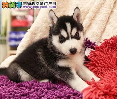重庆售家养哈士奇二哈西伯利亚雪橇犬公母都有欢迎选购