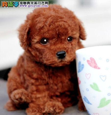 暖系泰迪银川真情奉上 保证健康及品质 欢迎上门看狗狗