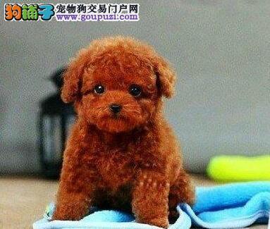 郑州家养茶杯泰迪宝宝赛级泰迪犬健康纯种签协议看父母