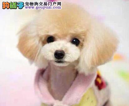 家庭喂养精品小体泰迪熊宝宝出售 深圳售超可爱茶杯犬
