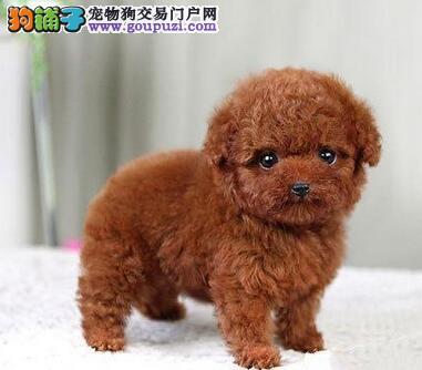 广州家养纯种韩国血统的贵宾犬转让 终身售后品质保证