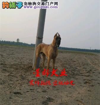 正规犬舍繁殖、诚信交易、纯种大丹犬、可签协议