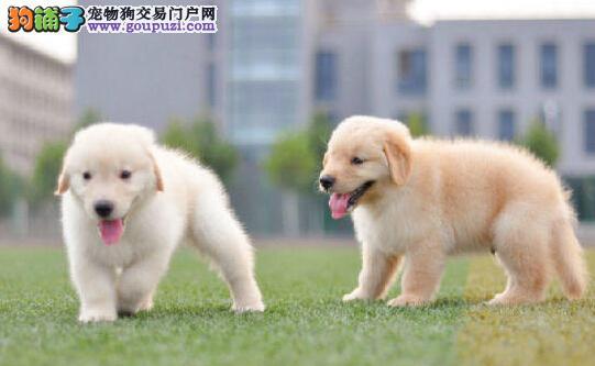 犬舍热销纯种金毛犬株州周边地区可上门选购