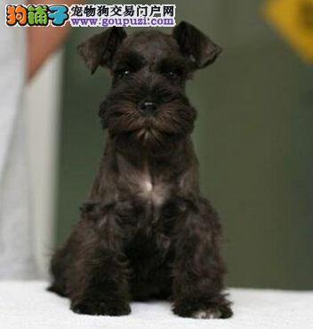 特价出售南京雪纳瑞颜色多只均可见狗狗父母