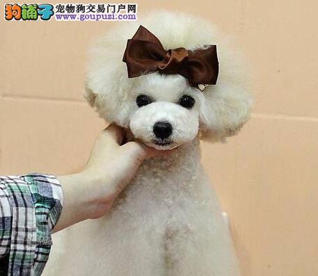 纯种贵宾犬健康质保玩具迷你型杯体犬可供送家