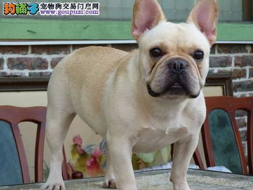 出售纯正血统高气质的杭州斗牛犬 喜欢的朋友可上门选