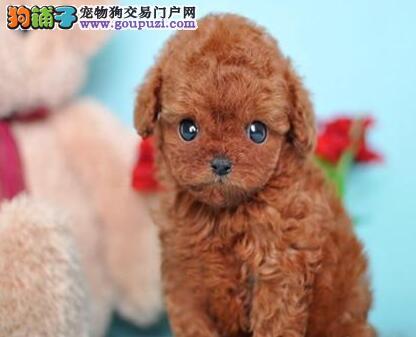 杭州养殖基地出售赛级品质血统纯正的贵宾犬 欲购从速