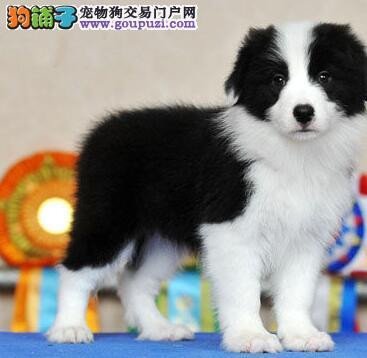 上海出售高品质边境牧羊犬包半年健康养死包换送上门