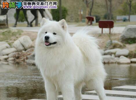 纯白无泪痕的杭州萨摩耶幼犬找新家 终身保障品质