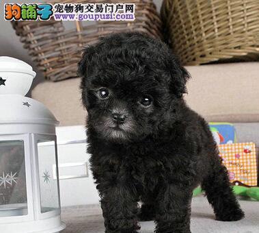 南昌养殖场低价出售巨型贵宾犬 希望大家上门参观看狗
