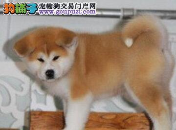 低价促销极品日系济南秋田犬 可赠送狗笼子可空运到家